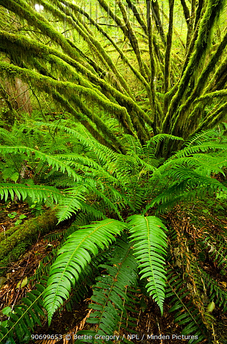Temperate rainforest with Vine maple (Acer circinatum) and fern, Golden Ears provincial park, British Columbia, Canada, July.