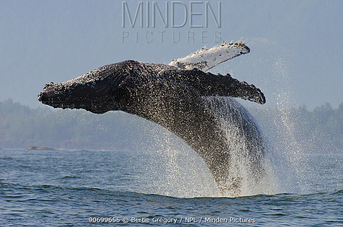 Humpback whale (Megaptera novaeangliae) adult breaching, Vancouver Island, British Columbia, Canada, July.