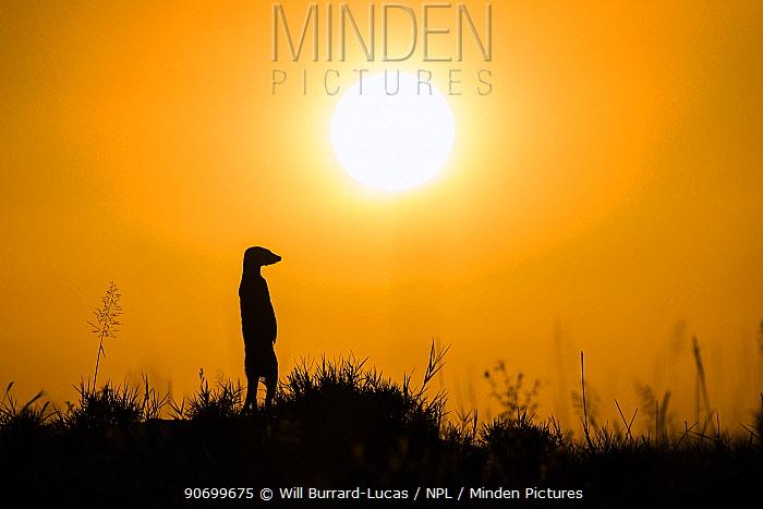 Meerkat (Suricata suricatta) standing alert on hind legs at sunset, Makgadikgadi Pans, Botswana.