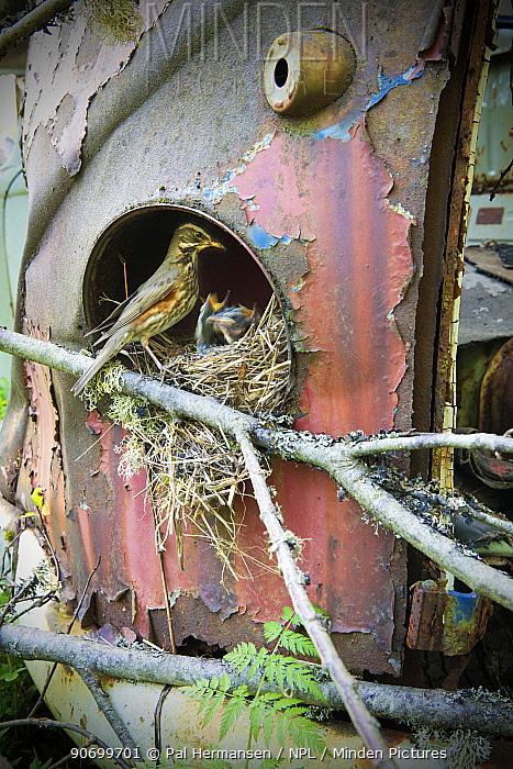 Redwing (Turdus iliacus) at nest in old car, Bastnas car graveyard, Sweden, May.