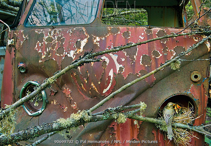 Redwing (Turdus iliacus) at nest in old Volkswagen car, Bastnas car graveyard, Sweden, May.