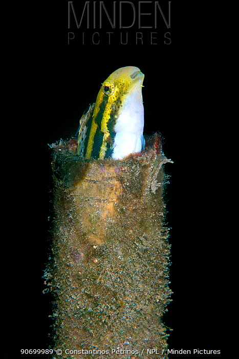 Striped fangblenny mimic (Petroscirtes breviceps) coming out of a bottle, Lembeh Strait, North Sulawesi, Indonesia.