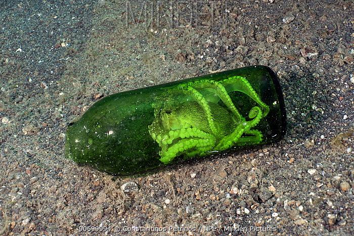 Margined octopus (Amphioctopus marginatus) inside a beer bottle. Lembeh Strait, North Sulawesi, Indonesia.