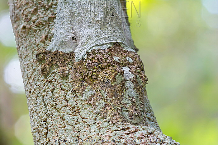 Mossy leaf-tailed gecko (Uroplatus sikorae) camouflaged on branch, Andasibe-Mantadia National Park, Madagascar.