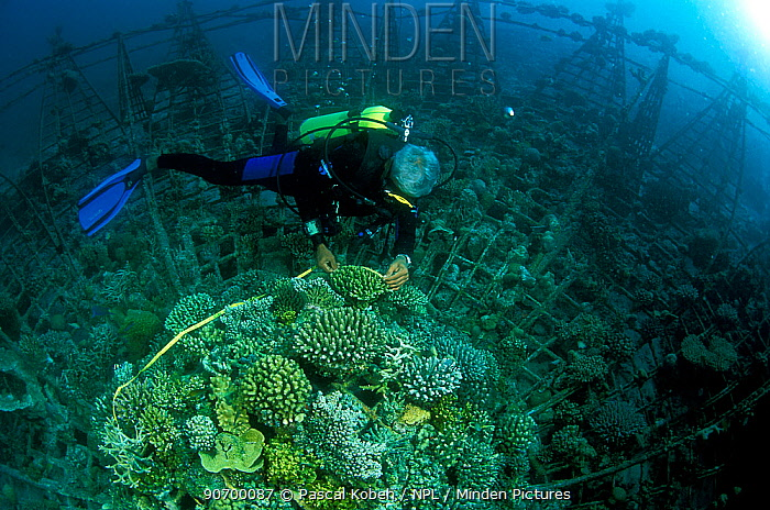 Diver exploring 'Lotus' artificial reef, built in 2001 with a steel frame using mild electric currents to encourage coral growth. Vabbinfaru Island in North Male Atoll, Maldives, Indian Ocean. September 2005.