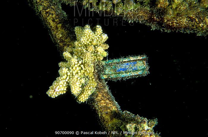 Piece of broken coral tied up to help it regenerate, Vabbinfaru Island, North Male Atoll, Maldives, Indian Ocean. September 2005.