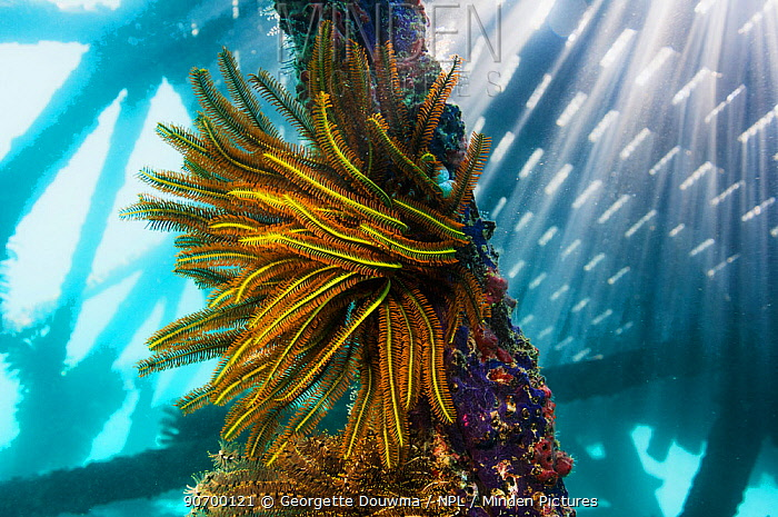 Benneti's crinoid (Comanthus bennetti) with shafts of sunlight through pier.  Mabul, Malaysia.  Indo-Pacific.
