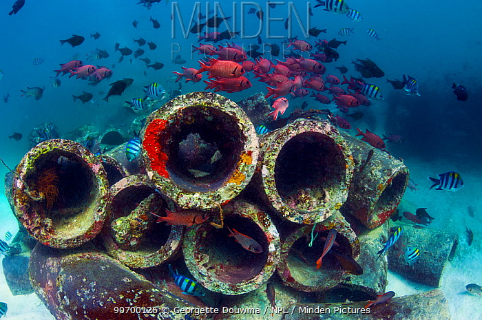 Mixture of Soldierfish (Myripristis) over cement pipes in artifical reef,  Mabul, Malaysia.