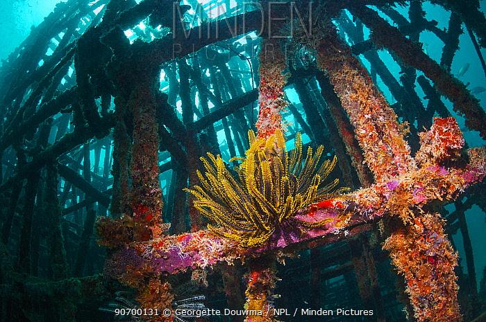 Crinoid (Crinoidea) on artificial reef. Mabul, Malaysia.