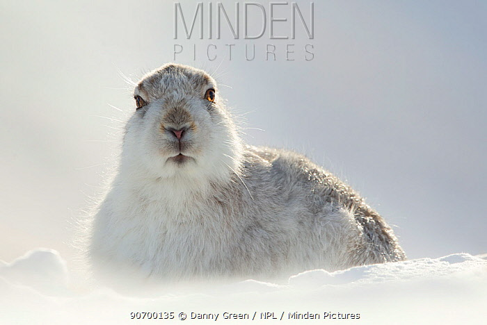 Mountain Hare (Lepus timidus) resting with ears back, Scotland, March. Highly Commended in the Animal Portrait Category of the BWPA Competition 2015.