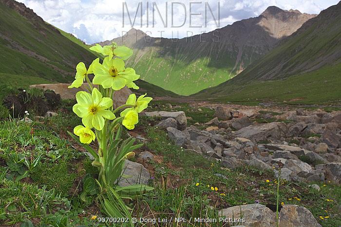 Poppy (Meconopsis integrifolia) flower, in landscape, Serxu, Shiqu county, Sichuan Province, Qinghai-Tibet Plateau, China.
