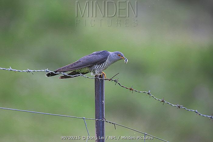Eurasian cuckoo (Cuculus canorus) with caterpillar prey, on barbed wire fence, Serxu, Shiqu county, Sichuan Province, Qinghai-Tibet Plateau, China.