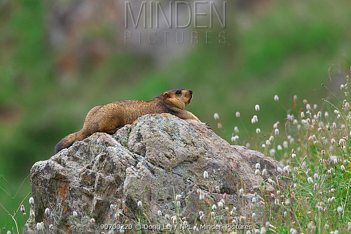 Himalayan marmot (Marmota himalayana) stretched out on rock, Serxu, Shiqu county, Sichuan Province, Qinghai-Tibet Plateau, China, August.