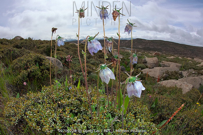 Ladybells (Adenophora sp ) flowers in habitat, Daocheng County, , Qinghai-Tibet Plateau, China, August.