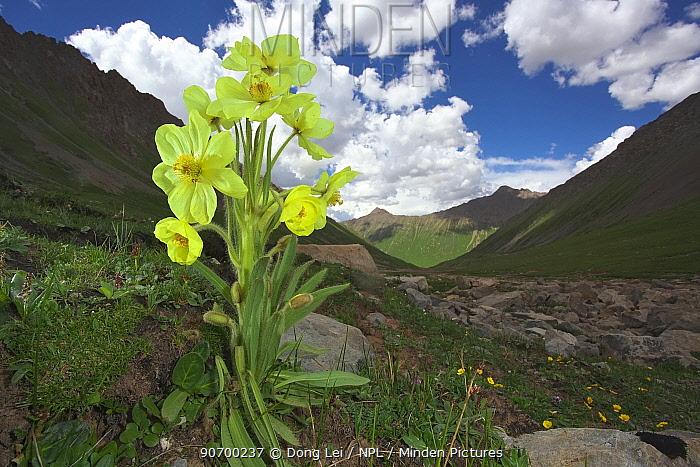 Poppy (Meconopsis racemosa) flower in habitat. Serxu, Shiqu county, Sichuan Province, Qinghai-Tibet Plateau, China. August.