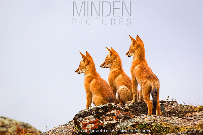 Three Ethiopian wolf (Canis simensis) pups waiting for their parents to return, Ethiopia.