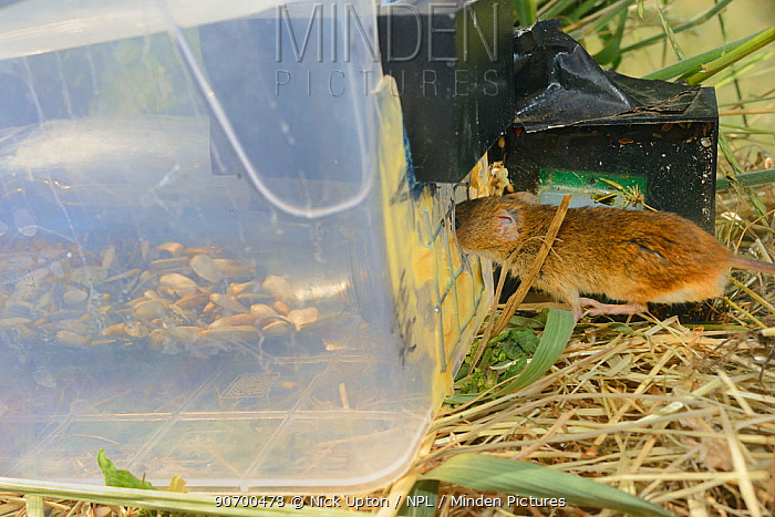 Microchipped Harvest mouse (Micromys minutus) entering a grain feeding station equipped with an automatic Radio Frequency Identification (RFID) monitor which logs visits by released mice in field site. Moulton College, Northampton, UK, June.