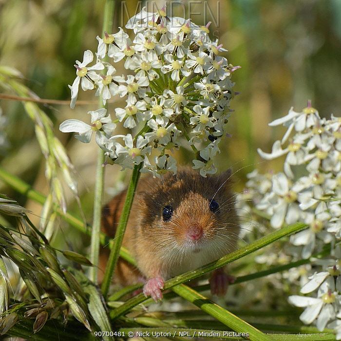 Harvest mouse (Micromys minutus) on Common hogweed (Heracleum sphondylium) flowerhead after release, Moulton, Northampton, UK, June.