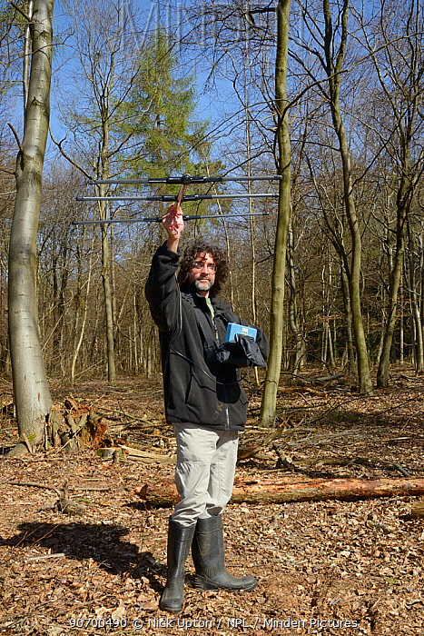 Andy Rothwell using a radiotracker to locate hibernating radio-collared Edible / Fat Dormice (Glis glis) in woodland where this European species has become naturalised, Buckinghamshire, UK, April, Model released.