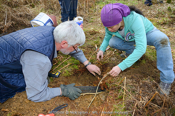 Roger Trout and Jia Ming Lim fitting an exit tube to the hibernation burrow of  an Edible / Fat Dormouse (Glis glis) after replacing it during a survey in woodland where this European species has become naturalised, Buckinghamshire, UK, April, Model released.
