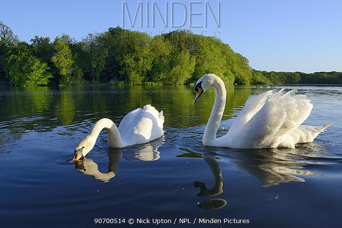 Mute swan (Cygnus olor) pair swimming and drinking, Coate Water, Wiltshire, UK, June.