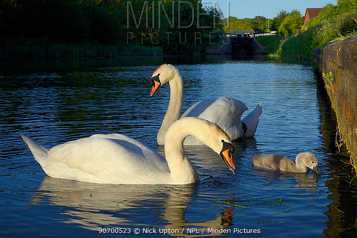 Mute swan pair (Cygnus olor) with a young cygnet foraging, Kennet and Avon canal, Caen Hill, Devizes, Wiltshire, UK, June.