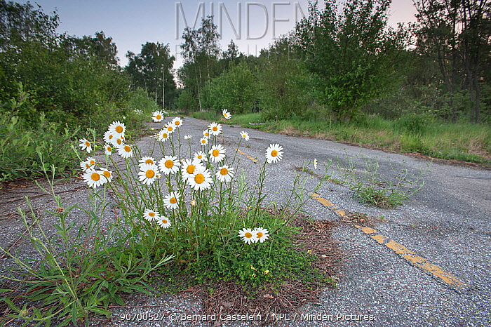 Ox-eye daisies (Chrysanthemum leucanthemum) growing on a disused road, Klein Schietveld, Brasschaat, Belgium.