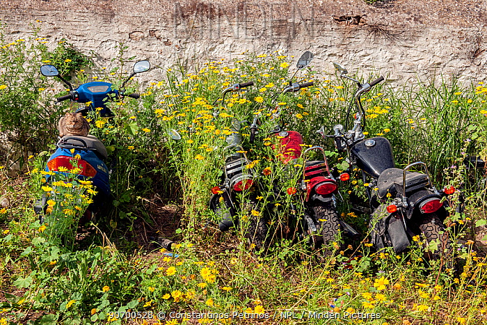Domestic cat sitting on disused motorbikes, surrounded by flowers , Greece. April 2009.