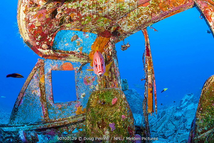 Giant squirrelfish (Sargocentron spiniferum) at cleaning station in the cockpit of wreck of Panorama Air Tour Beech H18S that crashed in 1983 after take-off from Keahole airport, Kona, Hawaii.