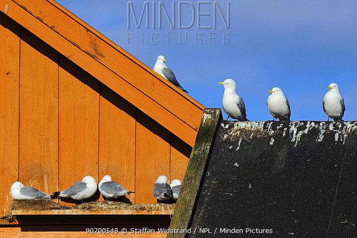 Kittiwake (Rissa tridactyla) breeding on house wall, Vardo town, Varanger Peninsula, Norway, March.