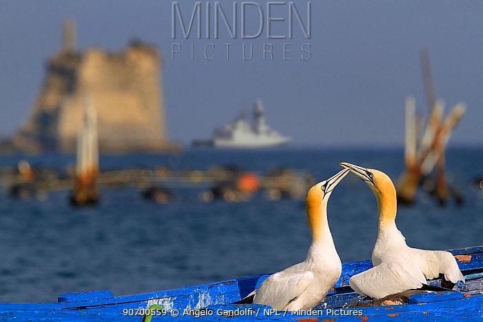 Gannets (Morus bassanus) courtship behavior on nest on abandoned boat, La Spezia Gulf, Italy. Mediterranean Sea. July.