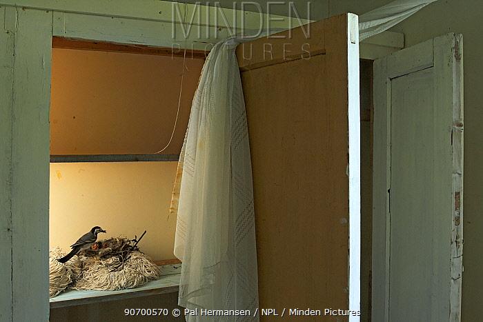 White wagtail (Motacilla alba alba) nesting in cupboard in house, Lofoten, Norway, June.