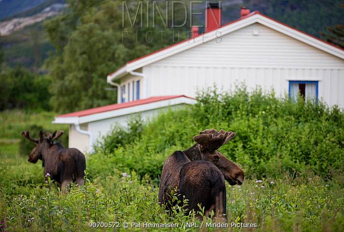 European moose (Alces alces) bulls walking past houses, Nordland, Norway. July.