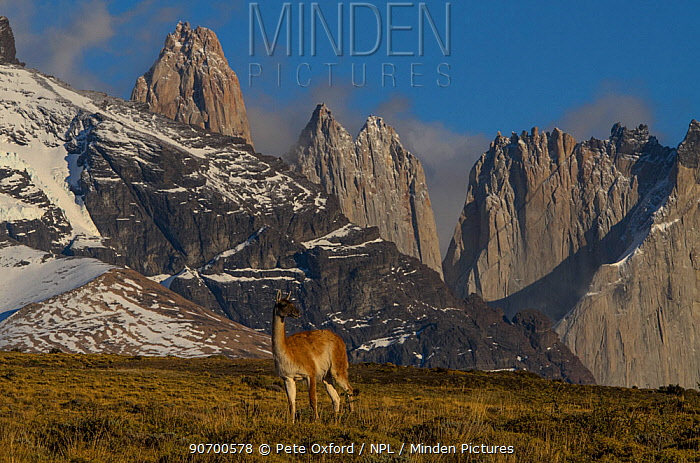 Guanaco (Lama guanaco) with Cordiera del Paine in back. Torres del Paine National Park, Patagonia, Chile.