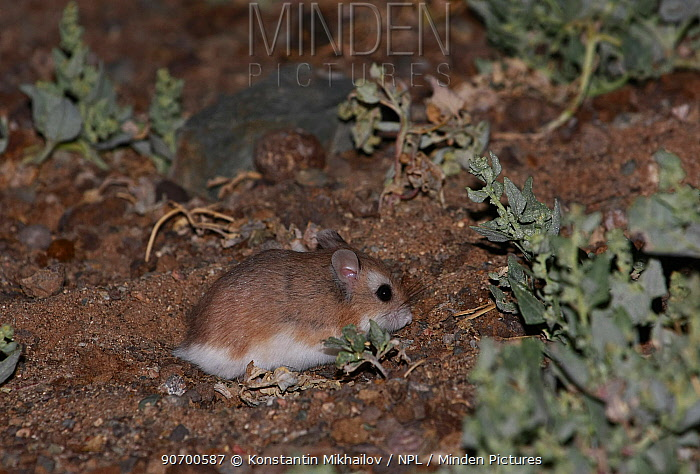 Roborovski hamster (Phodopus roborovskii) in its natural habitat, Northern Gobi, Mongolia. August. This species is commonly kept as pets.