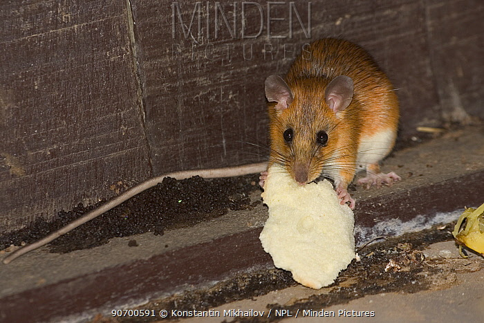 Tenasserim white-bellied rat (Niniventer tenaster) feeding on bread inside hut, Thailand.