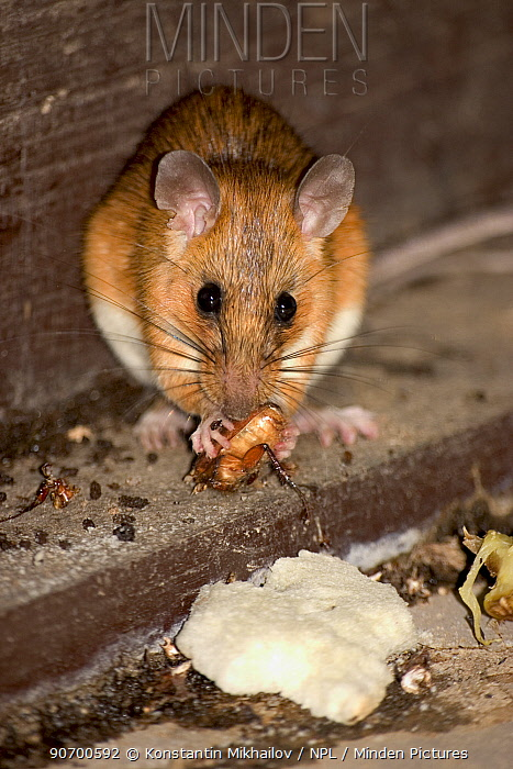 Tenasserim white-bellied rat (Niniventer tenaster) inside hut, feeding on cockroach, Thailand.