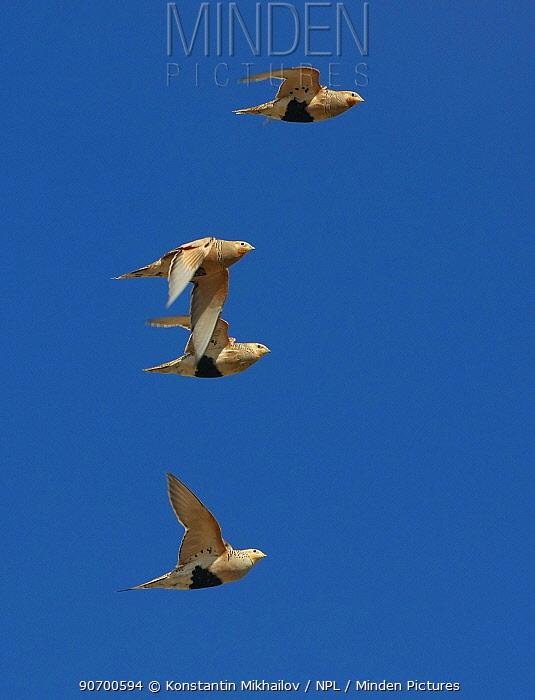 Pallas's sandgrouse (Syrrhaptes paradoxus) group of four flying against blue sky, Gobi Desert, Mongolia, August.