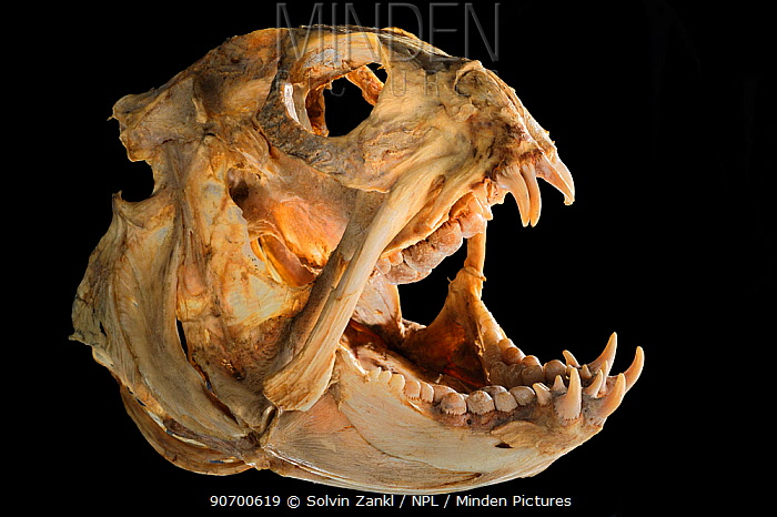 Seawolf (Anarhichas lupus) skull, from Atlantic Ocean, at a a depth of 200m.