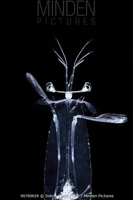 Mantis shrimp larvae (Stomatopoda) Sargasso Sea, Bermuda/