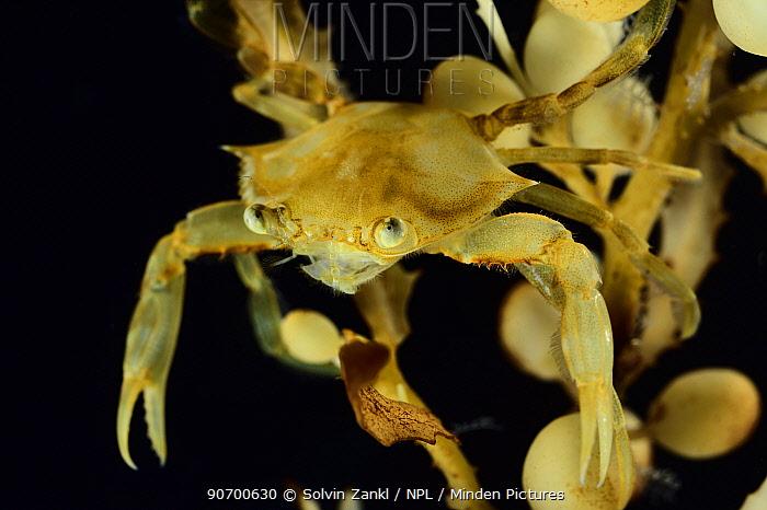 Tiny crab  on Broad-toothed Gulfweed (Sargassum fluitans) Sargassum Community. Sargasso Sea, Bermuda