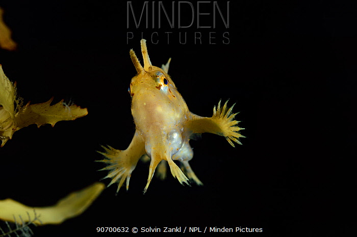 Sargassumfish (Histrio histrio) swimming near Broad-toothed gulfweed (Sargassum fluitans) Sargassum Community. Sargasso Sea, Bermuda.