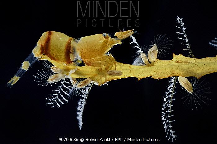 Shrimp (Hippolyte coerulescens), Hydroids (Aglaophenia latecarinata) and Sargasso barnacles (Lepas pectinata) on Broad-toothed gulfweed (Sargassum fluitans) Sargasso Sea, Bermuda