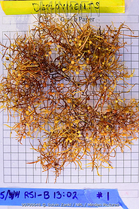 Common sargasso weed (Sargassum natans) on graph paper during scientific research. Sargasso Sea, Bermuda