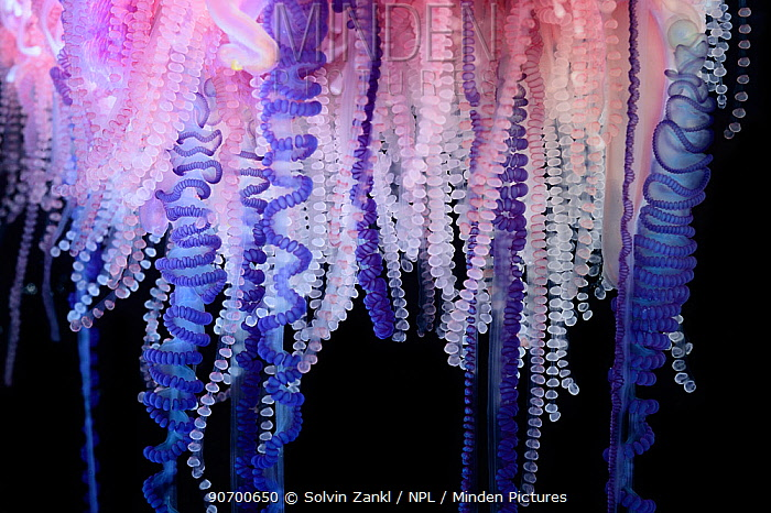 Portuguese Man-of-War (Physalia physalis) close up of tentacles, Sargasso Sea, Bermuda