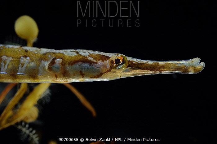 Sargasso weed (Sargassum fluitans) with Pugnose Pipefish (Syngnathus pelagicus). Sargasso Sea, Bermuda.