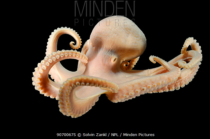 Deepsea Octopus (Bathypolypus bairdii) specimen from the North Atlantic, near the Faroe Islands at a depth of 805m