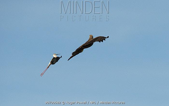 Black-winged stilt (Himantopus himantopus) mobbing Black kite (Milvus migrans) Baragem do Caia, Santa Eulalia, Elvas, Portugal, May.