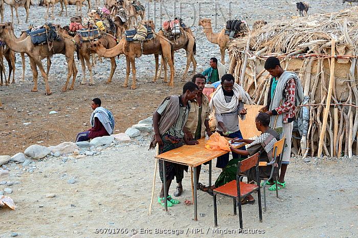 Early morning at Ahmed Ela, men with caravan of Dromedary camels (Camelus dromedarius) waiting for assignments. Lake Assale, Danakil Depression, Afar region, Ethiopia, March 2015.