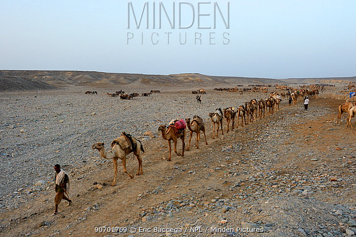Early morning at Ahmed Ela, with caravan of Dromedary camels (Camelus dromedarius) and their pullers going to pick up salt at Lake Assale, Danakil Depression, Afar region, Ethiopia, March 2015.